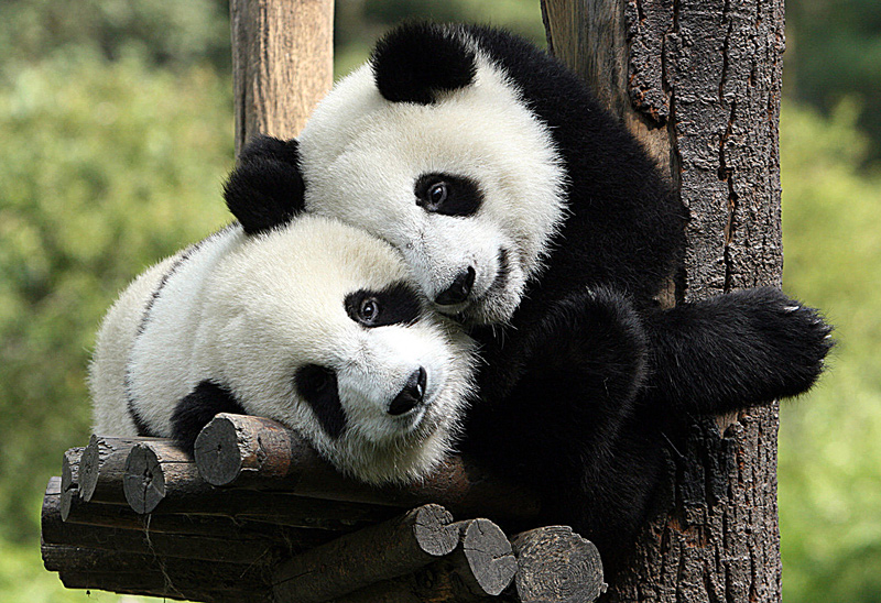 Will they or won't they? Are Edinburgh's Pandas getting in the mood for love?